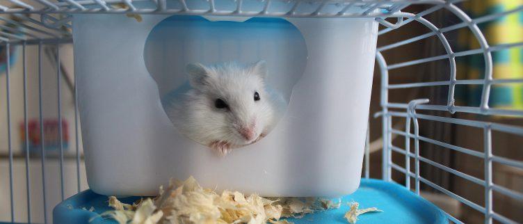 Hoeveel kost een hamster?