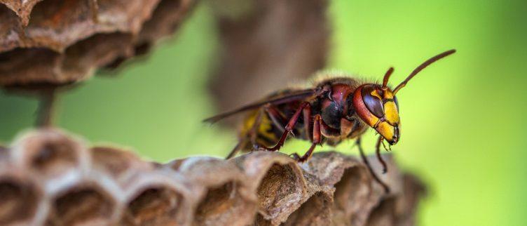 Hoe kun je een wespennest bestrijden?