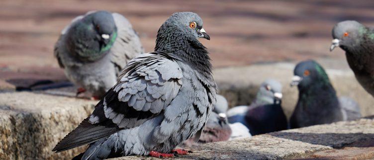 Hoe kun je duiven verjagen?