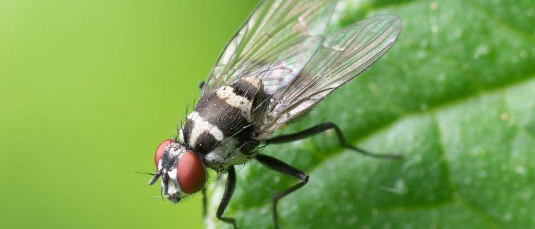 Wat kun je doen tegen vliegenoverlast?
