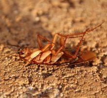 Kakkerlakken tegengaan en (laten) bestrijden
