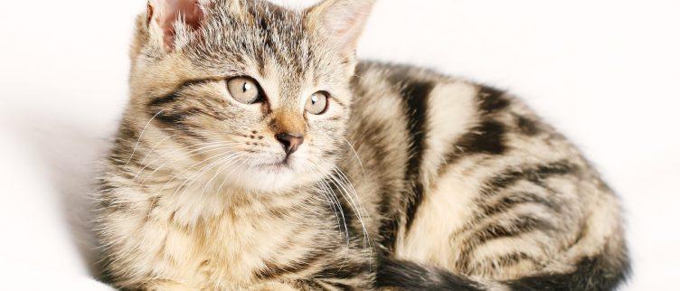 Hoe kun je een verzekering afsluiten voor je kat?