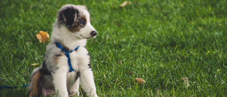7 dingen die je moet weten voor je een puppy koopt