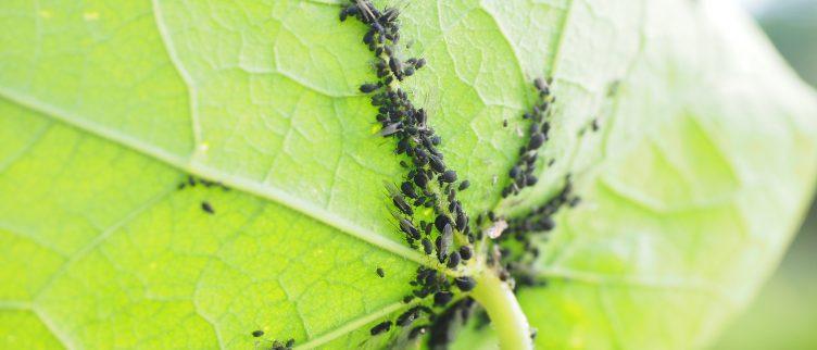 9 tips om bladluis te bestrijden