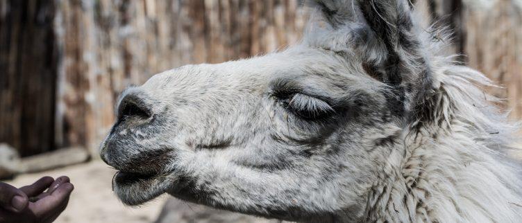 10 alpaca boerderijen in Nederland