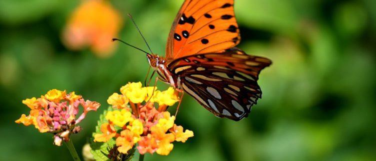 13 vlindertuinen in Nederland