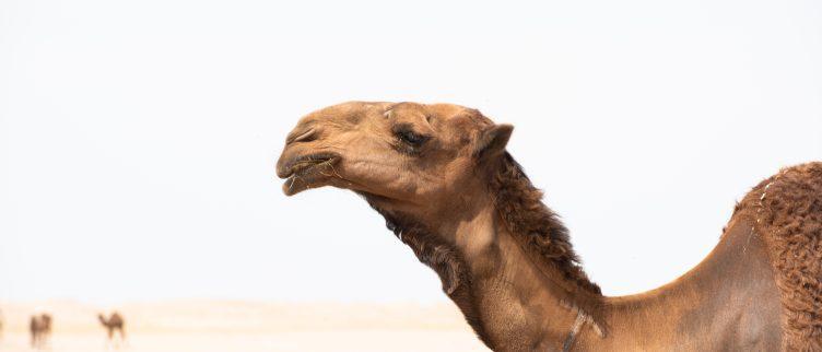 6 Gezondheidsvoordelen van kamelenmelk
