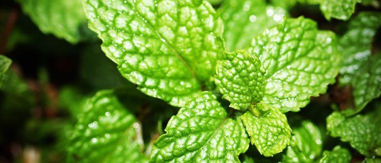 Voordelen en nadelen van pepermuntoliecapsules